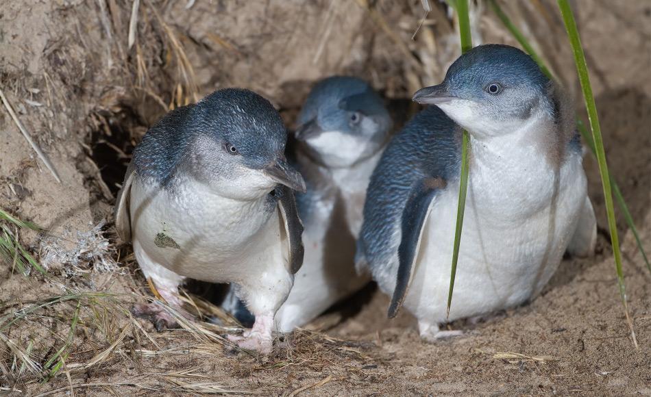 Zwergpinguine sind die kleinste Pinguinart weltweit. Ihr Lebensraum liegt in den Küstenregionen von Australien und Neuseeland, wo sie in Höhlen leben. Bild: JJ Harrison