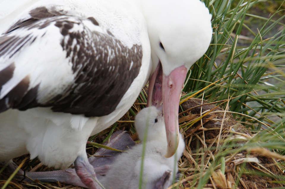 Wanderalbatros-Nachwuchs auf Prion Island