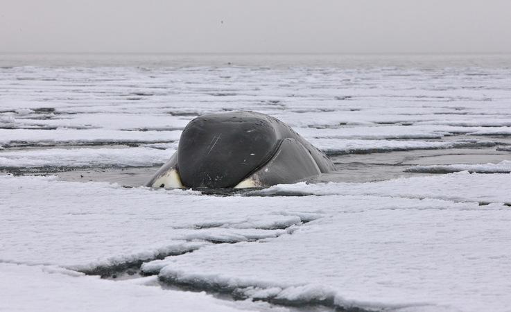 Grönlandwale sind echte Eisliebhaber und verbringen viel Zeit an der Eiskante und im Eis auf