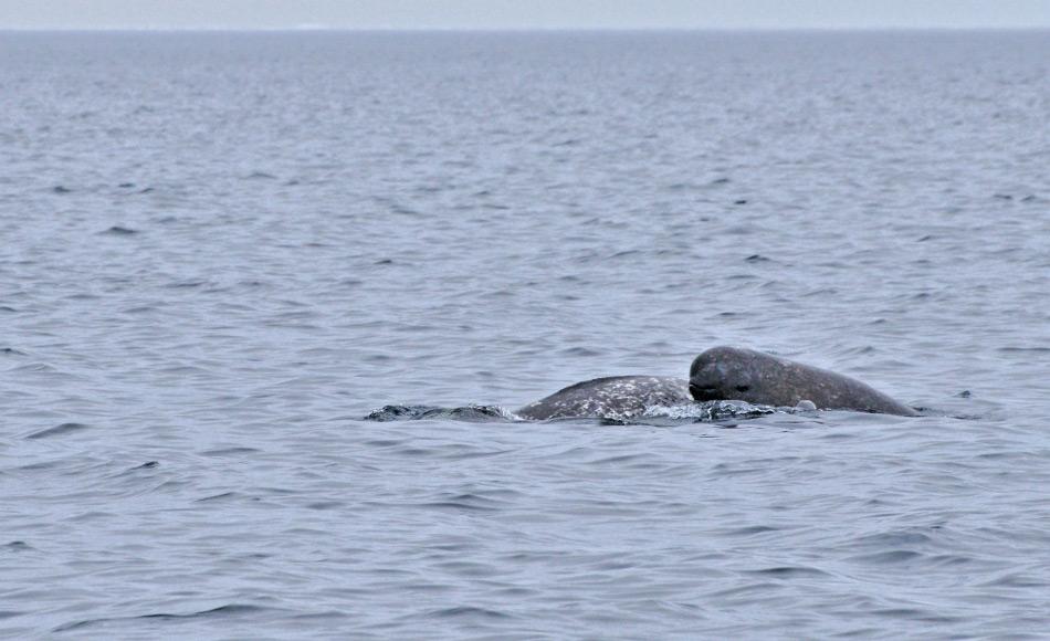 Narwale kommen wohl nur im Frühjahr in die Küstengebiete, um dort zu fressen und die Jungen zu gebären. Narwale haben eine langsame Fortpflanzung und sind deswegen besonders gefährdet bei Störungen. Bild: Michael Wenger