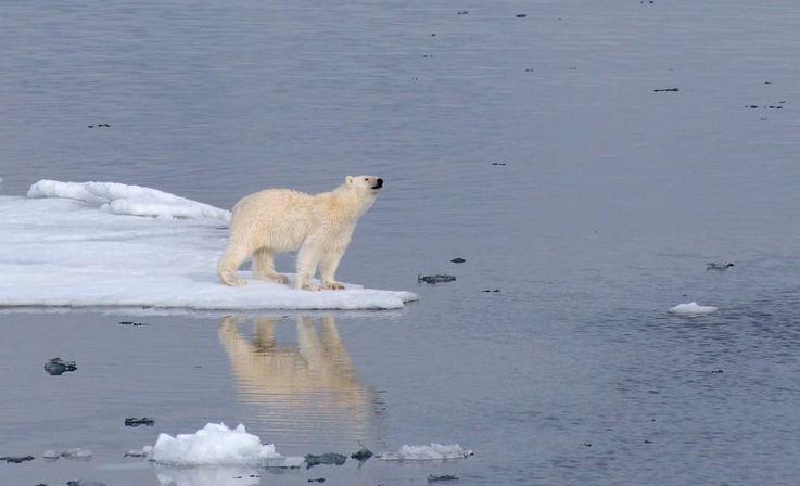 Eisbären sind das Sinnbild der Arktis. Doch in Kanada und Grönland wird das Tier unter Auflagen