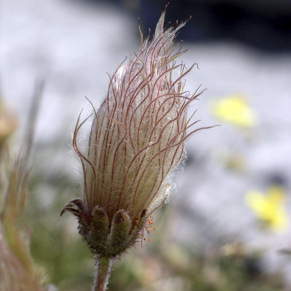 Sobald die Blume bestäubt ist bildet sie Samen. Dargestellt ist der Fruchtstand einer Silberwurz (Dryas octopetala) Bild: Velella, Wiki Commons